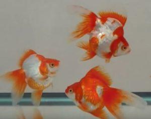 水槽の中を琉金という種類の金魚が泳いでいます。琉金は体が丸っこくてヒレが大きく、顔は口に向かって三角形に尖っています。このような特徴があります。