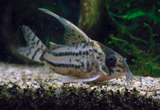 コリドラスの種類の紹介。コリドラスシュワルツィの画像