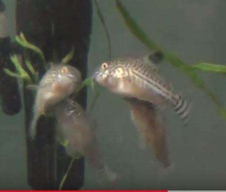 メスとオスのコリドラスが水槽の中層を泳いでいます。中層で泳ぎながらメスはオスの腹に口をくっつけて、Tポジションをとっています。