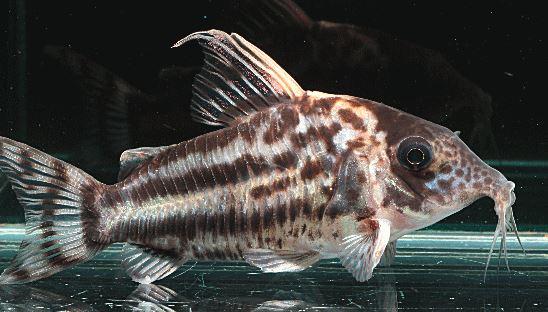 コリドラスの種類。鼻・口がショートノーズコリドラスよりも長く飛び出していますが、ロングノーズに比べると飛び出していません。ショートノーズとロングノーズの中間的な顔の形をしています。