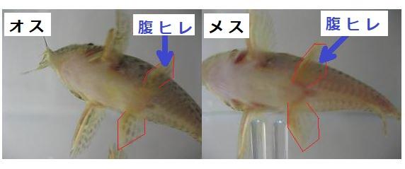 コリドラスのオスとメスを腹びれで判別します。右側にオスの画像があり、左側がメスの画像。オスの腹びれは先端がとがっているような感じですが、メスは全体的に丸っこい形をしています。
