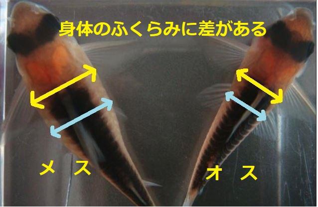 コリドラスの雄雌の違いはコリドラスを上から見ると判別できることも。メスは体がふっくらしており、オスは体がメスに比べると痩せている。